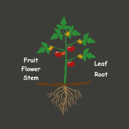 Tomato plant diagram product image